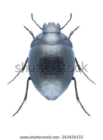 Beetle Zophosis bicarinata on a white background - stock photo