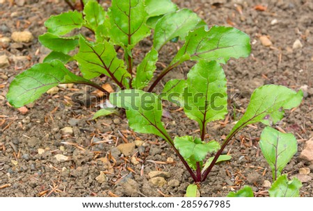 Beetroot plants starting to develop in a vegetable plot - stock photo