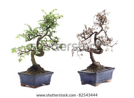 Before and After green and death bonsai tree Isolated on white background - stock photo