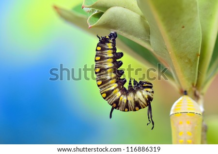 Before pupation, Metamorphosis of Plain Tiger Butterfly - stock photo
