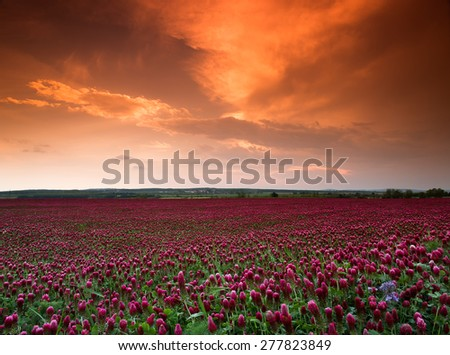 Before the storm-Red alfalfa plantation,with beautiful, wine-red flowers.The storm approached. - stock photo