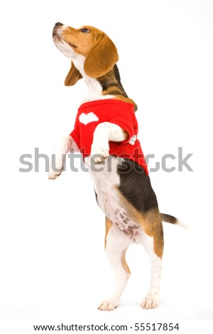 Begging Beagle puppy with red sweater on white background - stock photo