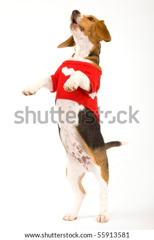 Begging Beagle with red sweater - stock photo