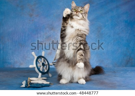 Begging Silver Maine coon with nautical steer on blue background - stock photo
