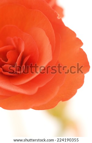 Begonia flower, close-up - stock photo