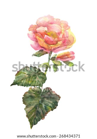 Begonia flower. Watercolor hand painting illustration. - stock photo