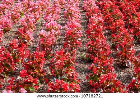 begonia garden - stock photo