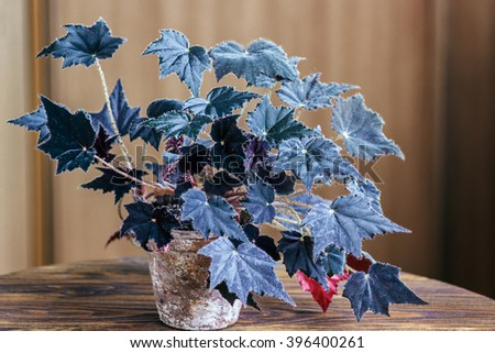 Begonia in an old flowerpot on wooden background. Begonia is a genus of perennial flowering plants in the family Begoniaceae. Big Begonia flowers with dark velvet leafs. - stock photo
