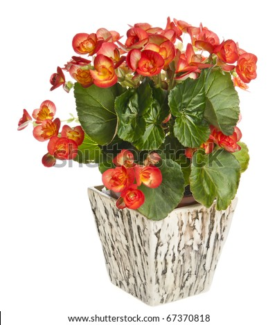 begonia in flowerpot isolated on white background