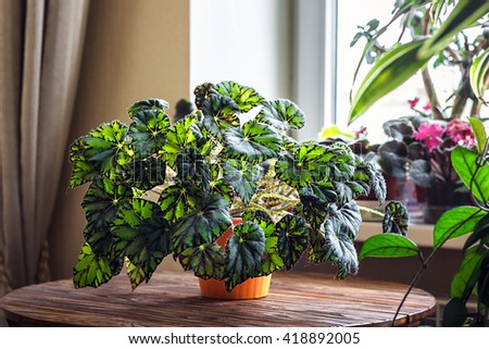 Begonia in orange flowerpot on wooden background. Genus of perennial flowering plants in the family Begoniaceae. Hybrid begonia Tiger Paws or Eyelash with green and red leaf pattern/Potted houseplant. - stock photo