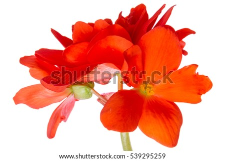 Begonia is a genus of perennial flowering plants in the family Begoniaceae.