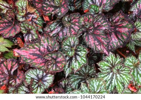 Begonia genus perennial flowering plants family stock photo 100 begonia is a genus of perennial flowering plants in the family begoniaceae the genus contains mightylinksfo