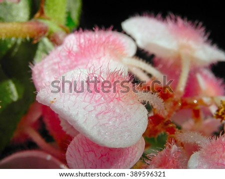Begonia Semperflorens Buds with Hair                                - stock photo