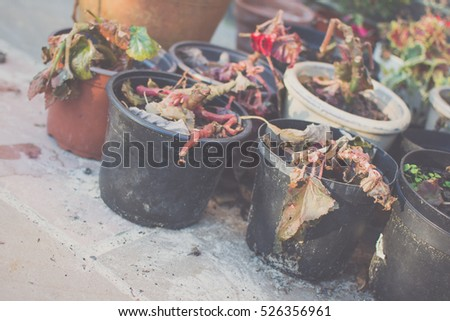 Begonias in winter: dying plants in pots, selective focus; toned photo