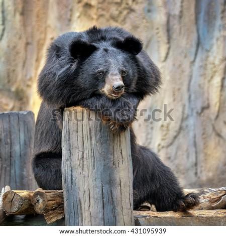 Behavior of Asiatic black bear. - stock photo