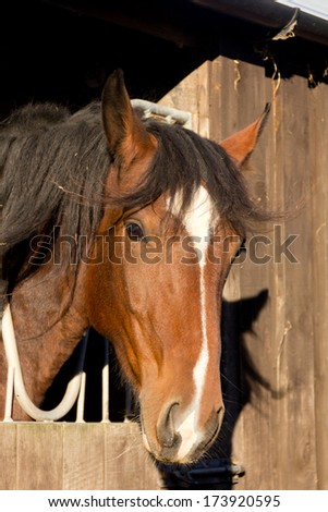 Behind bars-Close up shot of large bay horse looking out of stable through stable grill which is used to stop her weaving in the stable and make her stand still - stock photo