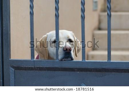Behind bars, Labrador retriever waiting behind a fence. - stock photo