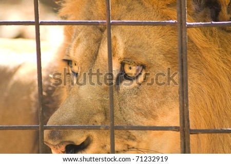 Behind Bars - The Life of a Captive Lion