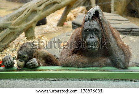 Behind glass. Orangutans in the Moscow zoo. Mother and Child  - stock photo