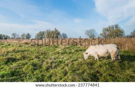 Beige colored cow grazing in a natural landscape with yellowed reeds in the background.