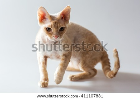 Beige Cornish Rex kitten posing and looking at the camera