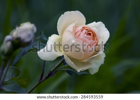 beige soft rose close-up on blurred background - stock photo