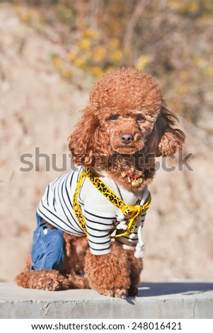 BEIJING-OCTOBER 6, 2014. Fashionable dog poses in autumn sun. Chinese are crazy about pets, which they often treat as children. They often trim and dress small dogs according the latest fashion.  - stock photo