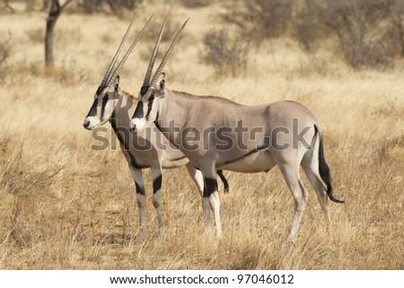 Beisa Oryx (Oryx beisa) in Kenya's Samburu Game Reserve - stock photo