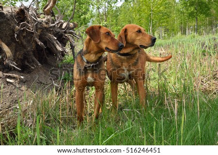 Belarusian Gonchak hound, a National dog breed of Belarus, standing on a green forest background