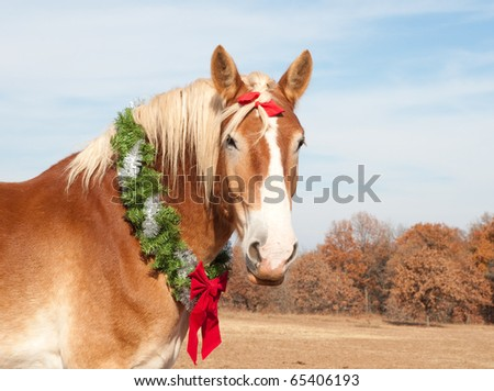 Belgian Draft horse with a Christmas wreath looking proudly at the viewer - stock photo