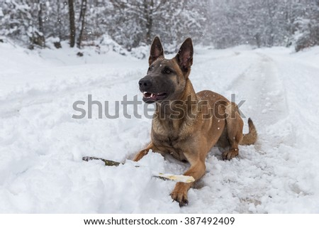 Belgian Malinois dog playing in the snow
