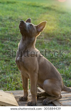 Belgian Malinois puppy. Little dog in the grass
