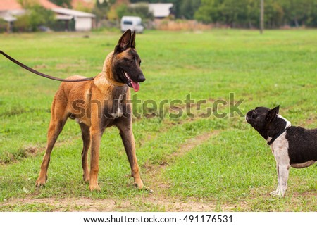 Belgian Malinois young puppy and French Bulldog in park