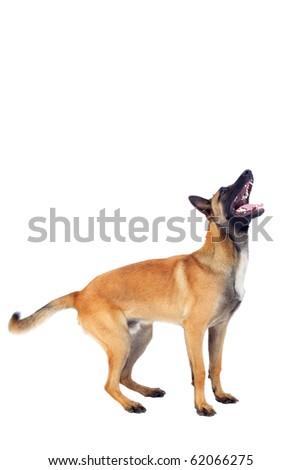 belgian shepherd dog isolated on white background - stock photo