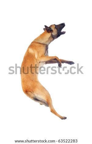 belgian shepherd dog jumping against white background - stock photo