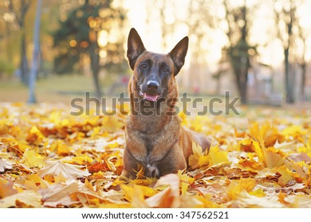 Belgian Shepherd dog Malinois lying in autumn leaves in the park at sunset