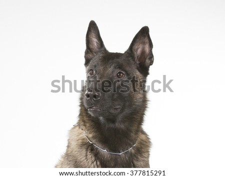 Belgian shepherd dog portrait. Image taken in a studio. The breed is also known as malinois. - stock photo