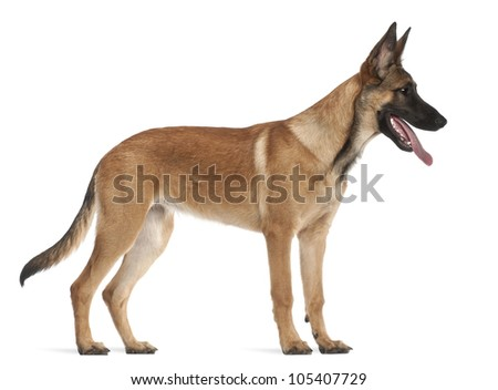 Belgian Shepherd Dog puppy, 5 months old, standing against white background - stock photo