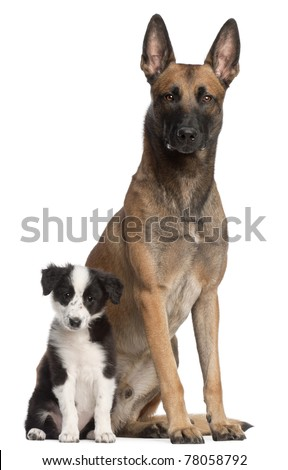 Belgian Shepherd Dog, 2 years old, and Border Collie puppy, 3 months old, sitting in front of white background - stock photo
