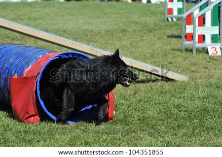 belgian shepherd groenendael during agility training - stock photo