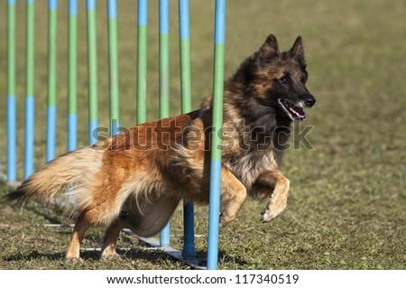 Belgian shepherd in the agility slalom - stock photo