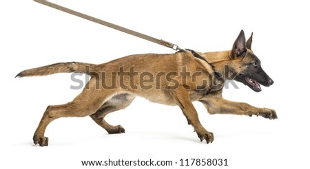 Belgian Shepherd leashed, trying to run against white background - stock photo