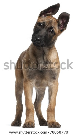 Belgian Shepherd puppy, 3 months old, standing in front of white background