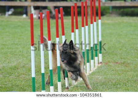 belgian shepherd tervueren during agility training - stock photo