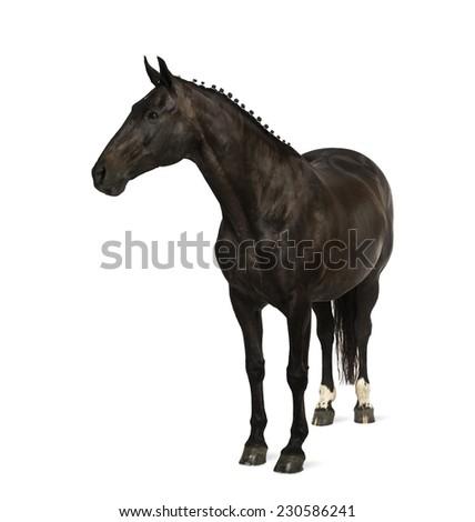 belgian sport horse (sBs) - 25 years old - stock photo