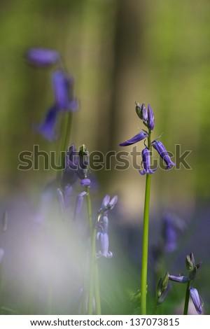 Bell-flower - stock photo