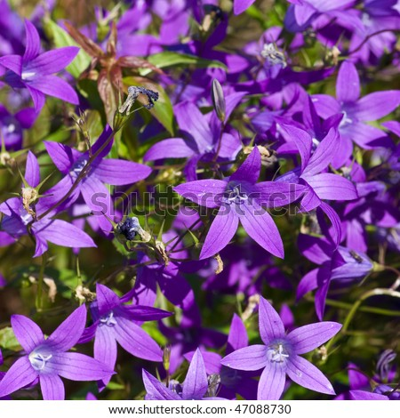Bell-flowers - stock photo