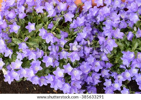 Bell flowers or Campanula
