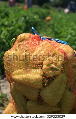Bell pepper - stock photo