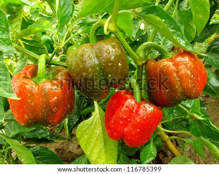 bell pepper plant with ripening fruits - stock photo